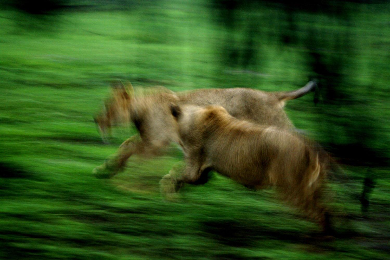 Löwenspiel